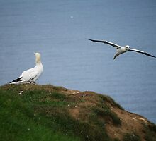 Gannets at Bempton Cliffs by Ms-Bexy