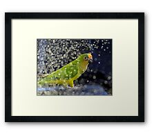 This Photo Shoot Is Fun - Peach-Fronted Conure - NZ Framed Print