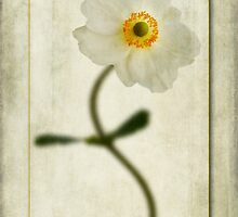 Japanese Anemone by John Edwards