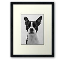 Portrait of Meryl the Boston Terrier Framed Print