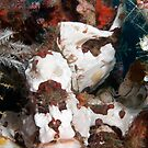Painted Frogfish, Wakatobi National Park, Indonesia by Erik Schlogl