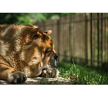 Resting chow dog Photographic Print