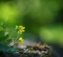 Yellow wildflower by tom klausz