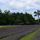 Growing Lavender at Terre Bleu by Paraplu Photography