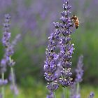 Lavender Honey by Paraplu Photography