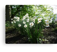 White Daffodils in Liverpool Sefton Park Canvas Print