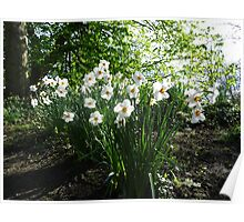 White Daffodils in Liverpool Sefton Park Poster
