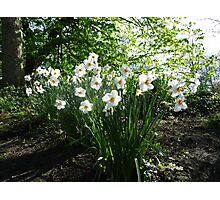White Daffodils in Liverpool Sefton Park Photographic Print