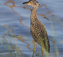 Young Night Heron  by Rose Cavaco