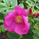 Soft and Gentle - Pink Wild Rose with Buds by kathrynsgallery