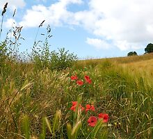 poppies in a field by Sara Sadler