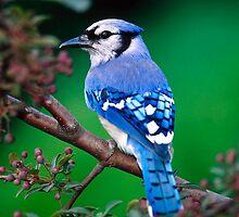 Bluebird by niccaridi1