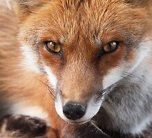 Fox by Thomas F. Gehrke