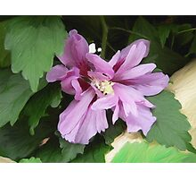 Lilac Flower of China Photographic Print