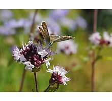Common Blue Butterfly! Photographic Print