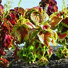 Colorful Coleus by Diane Arndt