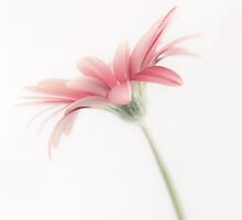 The Gerbera by DavidWHughes