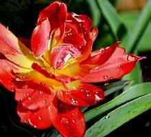 Unusual Tulip by lynn carter