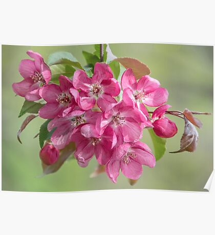 Crabapple Blossoms Poster
