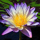 Beautiful Water Lily and Lily Pad by Kenneth Keifer