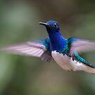 White-necked Jacobin Hummingbird by Steve Bulford