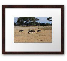 Wildebeest, Tanzania  Framed Print