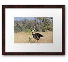 Ostrich, Tanzania Framed Print