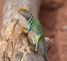 Collared Lizard at Colorado National Monument by jad5805
