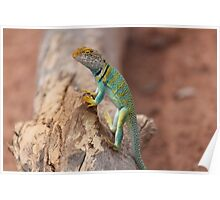 Collared Lizard at Colorado National Monument Poster