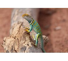 Collared Lizard at Colorado National Monument Photographic Print