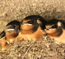 Baby Barn Swallows by Larry Trupp