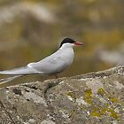 Arctic Tern by M.S. Photography & Art
