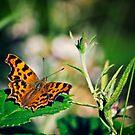 Comma Butterfly by Vicki Field