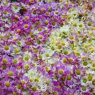 USA. Nevada. Las Vegas. Bellagio. Inner Garden. Daisies. by vadim19