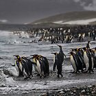 King Penguin Beach - South Georgia by Steve Bulford