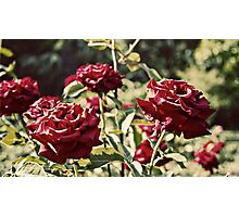 Lux Roses Photographic Print