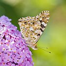 A painted lady in my garden by Delfino