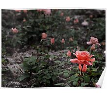 Rose Field Poster