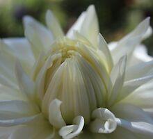 White Dahlia  by Gilda Axelrod