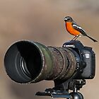 SELFIE Time  thinks the Flame Robin  Canberra Australia by Kym Bradley