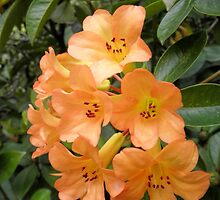Peach Coloured Rhododendrons, Wollongong. by kaysharp