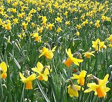 field.of.daffodils by markuze
