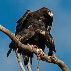 Couplating Wedge Tailed Eagles  Canberra Australia by Kym Bradley