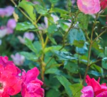 Roses Along The Rural Road | Westhampton, New York Sticker