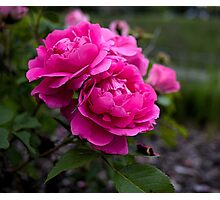 Edmonton Roses Photographic Print