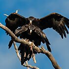 Copulating Wedge Tailed Eagles  3 Canberra Australia by Kym Bradley