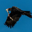 Departure Wedge Tailed Eagle Canberra Australia  by Kym Bradley
