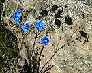 Flax on the rocks (Linum perenne var. lewisii) by Yukondick