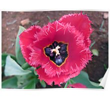Pink Ice Tulip Poster