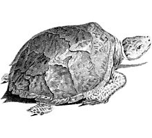 Drudge Reptile  Photographic Print